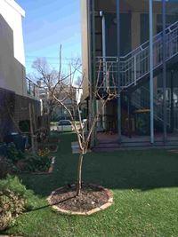 pruned quince